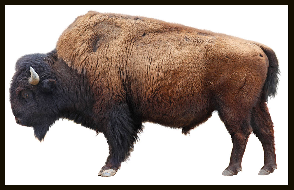 near extinction of north american bison North american bison have slowly returned from the near extinction they faced in the 1890s what was once decimated to less than 2,000 in number has, through careful breeding and nurturing, returned and flourished.